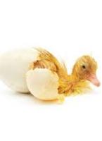 Duck Eggs: Hatching Duck Eggs